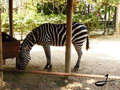 En la sombra (johannakcm) Tags: cebra rayado equuszebra