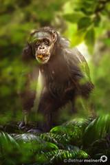 Dietmar Meinert | Schimpanse (Dietmar Meinert) Tags: expedition animals tiere nikon rainforest outdoor wildlife pflanzen ape afrika chimpanzee creature wald blätter bäume wwf tier d800 affe schimpanse regenwald pantroglodytes menschenaffe primat tierfotografie omnivore iucn tierschutz hominidae lebewesen wildlifephotography lebensraum tierwelt fortbewegung sozialverhalten ökosystem allesfresser gemeineschimpanse dietmarmeinert knöchelgänger