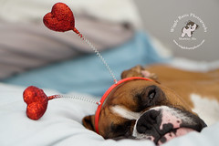 Hello Ladies! (Wiggle Butts Pet Photography) Tags: dog pet love hearts snuggle bed boxerdog valentine boxer valentinesday