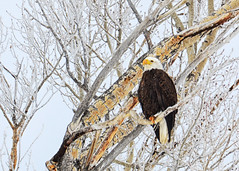 Bald Eagle (jesseandteresa) Tags: grandtetonnationalpark