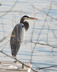 Great Blue Heron_N7621 (Henryr10) Tags: bird heron ardea kellogg greatblueheron avian ohioriver herodias ardeaherodias 4seasonsmarina