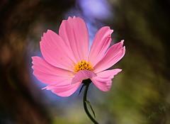 "Curtain Call ""Explore"" (Pamela Jay) Tags: pink summer plant flower beautiful garden flora pretty bokeh australia explore nsw cosmos curtaincall canon6d pamelajay"