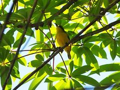 Olive-backed Sunbird (female) (Oleg Chernyshov) Tags: olivebackedsunbird cinnyrisjugularis yellowbelliedsunbird cinnyrisjugularisfrenatus желтобрюхаянектарница синегрудаянектарница