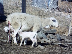 mom and new born babies (whimperandwhine) Tags: givingbirth windsorlambsandsheep