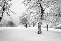White Narnia. (bw) (jrseikaly) Tags: door winter lebanon white snow cold tree nature jack photography high dynamic narnia range arz hdr cedars seikaly jrseikaly