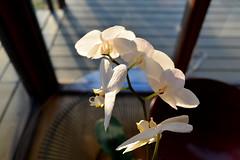 orchid (bluebird87) Tags: orchid flower nikon 28mm d600