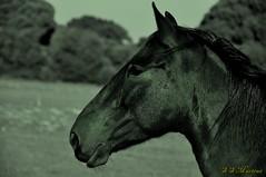 "Alentejo  011 (Srgio Martins ""marserg"") Tags: portugal setbal cavalos alentejo caminhada santiagodocacm nikond90 katmar marserg sergiomartins relvasverdes"