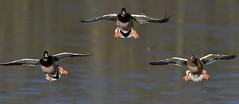 Mallards coming in to land (ftm599) Tags: wild bird nature birds flying duck nikon wildlife ducks birdsinflight mallard mallards bif lowbarns durhamwildlifetrust
