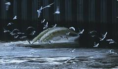 Orgy (Bricheno) Tags: birds river scotland riverclyde clyde glasgow gulls escocia szkocja schottland scozia écosse escòcia bricheno scoția