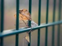 Entangled - HFF (A_Peach) Tags: berlin leaves fence leaf dof bokeh outdoor friday tangled hff panasoniclumixg3 olympusf1845mm