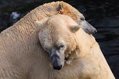 Hug me (patrickmai875) Tags: white cold love nature water canon hug wasser day bears ngc natur sigma valentine relationship national valentines polar kalt liebe geographic 6d umarmung bemine beziehung weis eisbren 150600mm