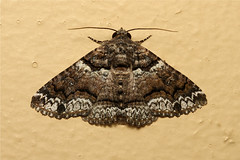 Perycima atrifusa (Lined Shades) - South Africa (Nick Dean1) Tags: insect southafrica moth insects lepidoptera arthropods arthropoda krugernationalpark satara arthropod hexapod insecta hexapods hexapoda linedshades pericymaatrifusa