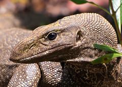 Look into my eyes baby (Saaliahc) Tags: nature animal fauna singapore lizard singapur waran varanus saurian omdm5