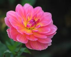 Dahlia Beauty (Heaven`s Gate (John)) Tags: pink england blur flower macro green nature beauty closeup botanical birmingham bokeh outdoor botanicalgardens birminghambotanicalgardens johndalkin heavensgatejohn