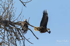 Bald Eagles copulating sequence - 22 of 28