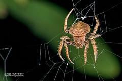 Wrap-around orb weaver (Talthybia sp.) - DSC_4630b (nickybay) Tags: macro riflerangeroad st singapore wraparound orb weaver spider araneidae talthybia
