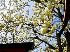 (aozora.umikaze) Tags: japan nara hibi soko aozora mugenndai utsumuku kaisyou
