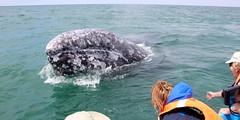 IMG_3965 (alanzsnovak) Tags: mexico grey gray whale whales baja bcs andiamo bajacaliforniasurbaja greywhalesgraywhales whaletripmexico