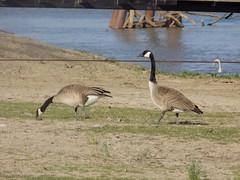 birds in Missouri (just me julie) Tags: grass birds river geese missouri fowl