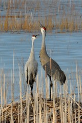 Sandhill cranes (U.S. Fish and Wildlife Service - Midwest Region) Tags: sandhillcrane midwest bird shiawassee usfishandwildlifeservice michigan nesting mi spring winter march water nwr refuge nationalwildliferefuge pair couple sandhillcranes cranes birds birding