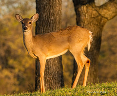 Whitetail (Lindell Dillon) Tags: oklahoma nature deer fawn whitetail lindelldillon