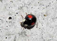 Koppental Obertraun IMG_1631 (martinfritzlar) Tags: alps austria sterreich beetle ladybird alpen insekt obersterreich harlequin tier kfer marienkfer salzkammergut coccinellidae harmonia koppental obertraun axyridis asiatischer