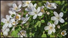 Isopyrum Biternatum (ioensis) Tags: garden march spring native mo anemone missouri wildflower rue webster groves false 2016 jdl ioensis isopyrum biternatum 53212007067tmf1bjohnlangholz2016