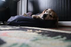 Flappy Sleeping...again (cseeman) Tags: dog pets beagle michigan sleepy tired dogbed saline flappy flapjack
