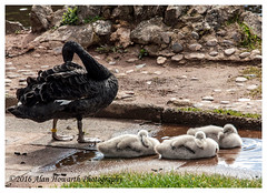 029 Black Swan and Signets Dawlish 05.04.16 (Alan Howarth Photography) Tags:  black bird canon swan wildlife devon signet dawlish 2016 50d alanhowarthphotography