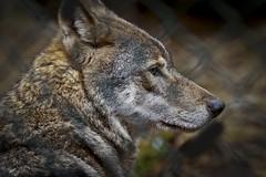 European Grey Wolf (buddah1888) Tags: eos grey scotland wolf european bokeh sigma predator artic kingussie wildlifereserve canuslupus canon400d sigma150500 buddah1888