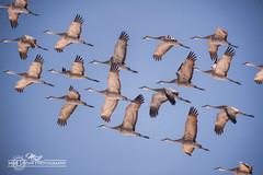 DSC_0297 (mikeyasp) Tags: birds flying inflight nebraska flock cranes formation avian sandhillcranes gruscanadensis