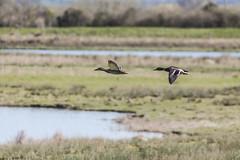 Mallards in Flight (4) (Mal.Durbin Photography) Tags: nature birds newport naturereserve newportwetlands maldurbin goldcliffnewport