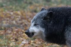 Loup du Canada_SAURON (Passion Animaux & Photos) Tags: canada france wolf canadian loup parc sauron saintecroix animalier