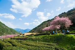 20160306-DSC_6016 (Kay's...) Tags: cherryblossom sakura   wuling wulingfarm