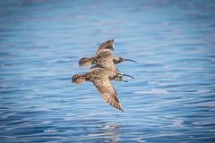 Birds Of A Feather (Envios) Tags: bird birds flying duet flight soaring stinsonbeach soar whimbrelbird