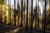 Rocket Forest (Stee65) Tags: motion alberi tramonto natura albero inverno paesaggio sera bosco tipo mosso santonino conifere soggetto paesaggioalpino verticalshift piandine