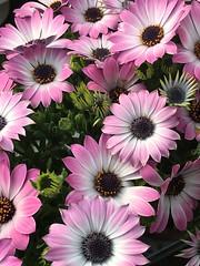 La semplicit ha sempre un sorriso... (lefotodiannae) Tags: primavera la un sorriso ha sempre semplicit lefotodiannae