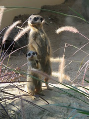 going for a walk (baby's excited 2c me) (sabinakurt62) Tags: autumn baby beautiful animal fauna canon photography meerkat sydney australia powershot attraction tarongazoo sx60