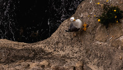 fiori gialli, una sigaretta, un gabbiano incazzato, un mare nero...vertigine (rossolev) Tags: europa italia mare uccelli napoli gabbiano fuoridalleballesalviniegrillo