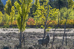 A taste of autumn (Ian@NZFlickr) Tags: autumn tree fall clyde sheep small nz otago