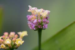 IMG_2510 (armadil) Tags: backyard flower flowers macro lantana