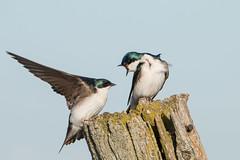 Tree Swallow Rage (NicoleW0000) Tags: ontario tree bird watching explore swallow behavior explored inexplore