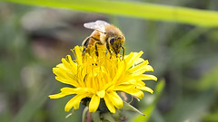 Honeybee's Feeding From Dandelion (Johnnie Shene Photography(Thanks, 2Million+ Views)) Tags: wild people colour macro nature animal yellow horizontal canon bug insect lens wonder photography eos rebel dc still interesting focus scenery kiss natural image feeding outdoor no wildlife watching scenic sigma tranquility scene dandelion depthoffield diagonal full bee theme awe length viewpoint honeybee adjustment freshness foreground t3i x5 hymenoptera behaviour fragility 곤충 접사 hymenopteran 600d 1770mm 벌 f284 꿀벌 매크로