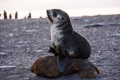 Antarctic Fur Seal Pup - Prima Donna (Barbara Evans 7) Tags: st georgia fur bay andrews south antarctica barbara seal pup antarctic evans7