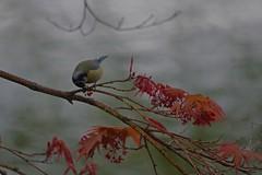 1242-46L (Lozarithm) Tags: birds shrewsbury bluetits k50 acers salop 55300 pentaxzoom hdpda55300mmf458edwr
