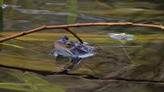 Common Frog, 240316, 06 a (al blunden) Tags: spring wildlife amphibians alongtheriver commonfrog march2016 queenelizabethparkhermajestyqueenelizabeththequeenmother