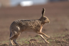 Brown Hare (gus guthrie1) Tags: nature field animal mammal scotland hare wildlife