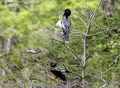Anhinga Pair with a Bee (Gabriel FW Koch) Tags: wild black tree green nature beautiful birds canon bug insect eos spring dof bokeh sigma waterbird bee bumblebee telephoto mating conflict wilderness nesting anhinga flyinginsect wadingbird naturephoto