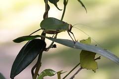 Katydid 7275 (Malcolm NQ) Tags: queensland katydid orthoptera tettigoniidae wallamanfalls taxonomy:order=orthoptera geo:country=australia