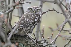 HNS_1396 Steenuil : Cheveche de Minerve : Athene noctua : Steinkauz : Little Owl